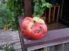 World Record Tomato 8.61 Sutherland