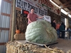 1844.5* Holub World Record Giant Squash