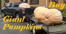 Link To: Buy Giant Pumpkins